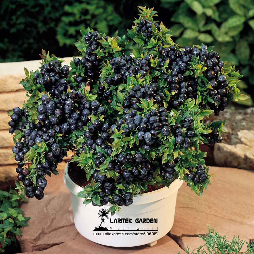 5-professional-packs-15-seeds-pack-font-b-bonsai-b-font-blueberry-heirloom-blue-berry-fresh