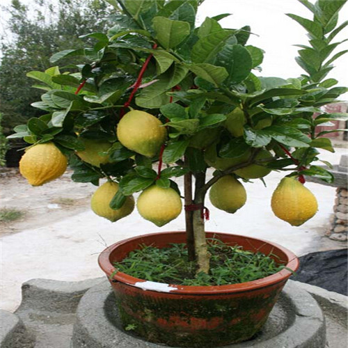lemon-seeds-indoor-outdoor-bonsai-seeds-font-b-edible-b-font-yellow-lemon-tree-seeds-organic