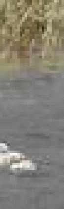 アヒル.jpgのサムネール画像のサムネール画像