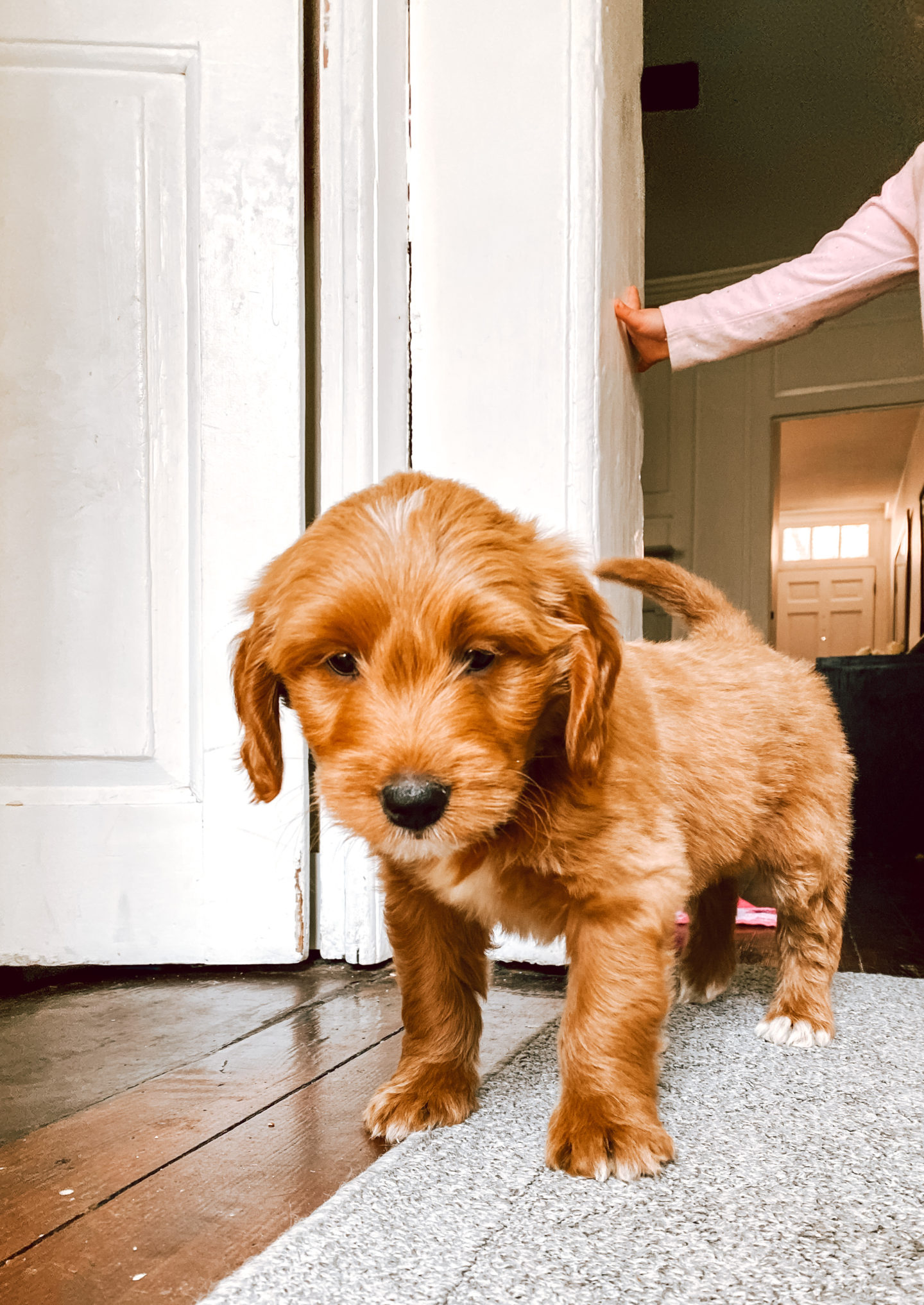 We got a Goldendoodle Puppy!