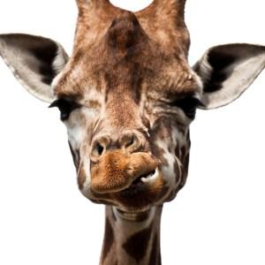 Nasratá žirafa