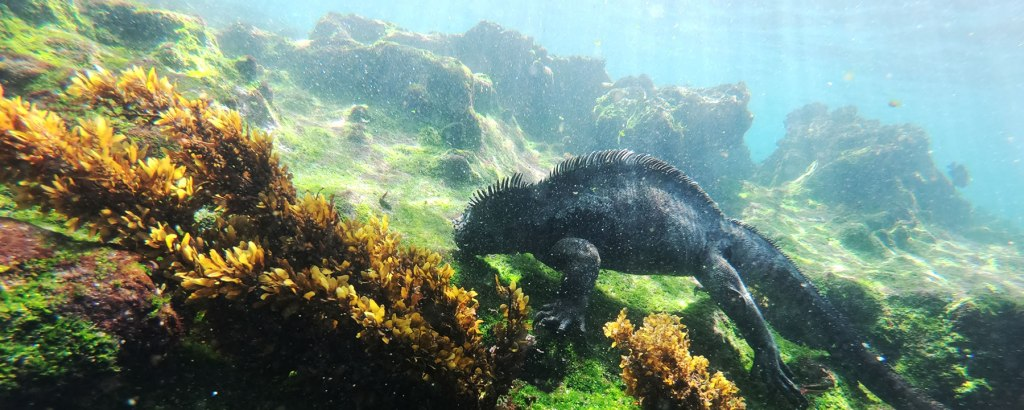 Iguana snorkeling on Fernandina Island
