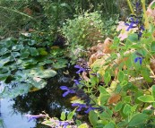 Pond and Sage in July-1