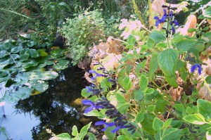 water feature pond and sage appeal to hot gardens
