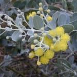 Pearl Acacia Acacia podarilyfolia