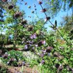 California native spring blooming shrub Allen Chickering Sage California clevelandii