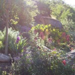 boulder scene in late afternoon with succulents and drought tolerant shrubs