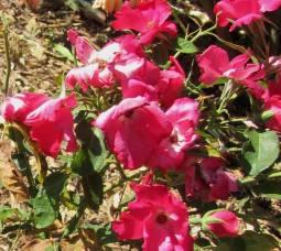 Rose Cherry Bomb