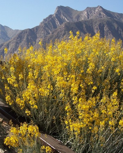 Rabbitbrush in bloom in Anza Borrego