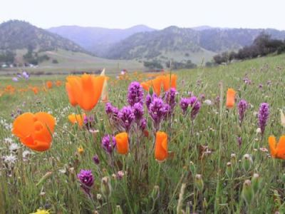 California native wild flowers