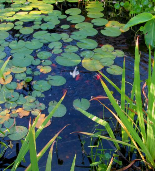 Koi are milling close to the water's surface awaiting their daily feeding.