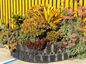 Aechmea blanchettiana. Design by Glorious Gardens, Encinitas