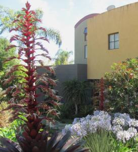 Vriesea imperialis is a regal presence in this garden. Greene garden, Encinitas