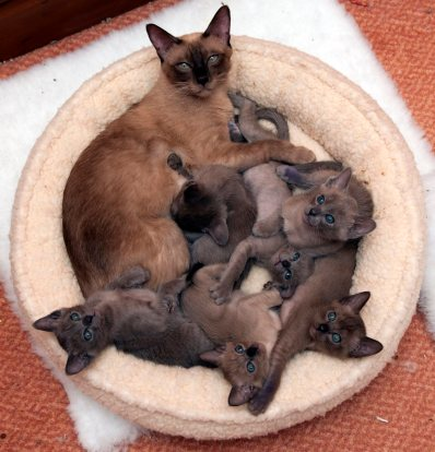 Pile of Kittens with Saffron
