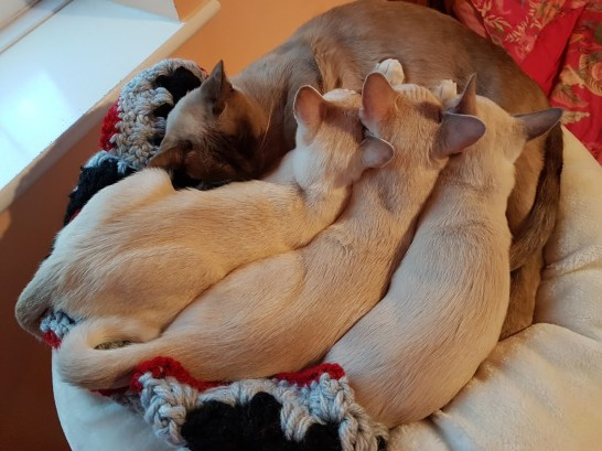 Saffy with Kittens