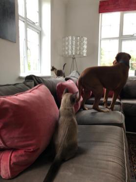 Rollie & Sophie meet Hungarian Vizlas