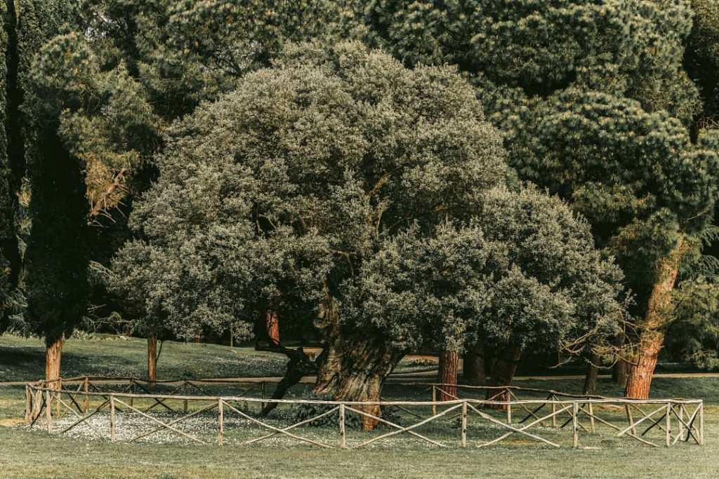 Brijuni - stare drzewo oliwne