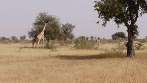 Koureé Niger Giraffe