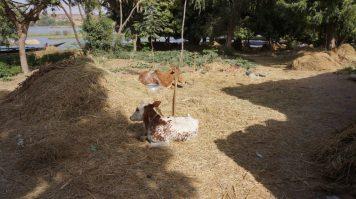 Kanazi Niger Livestock