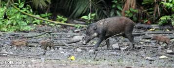 Sulawesian Warty Pig Cave painting
