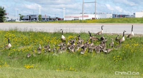 Geese Family - Bishop Grandin Boulevard