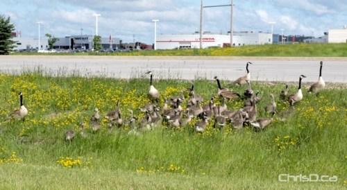 Geese Family - Bishop Grandin Boulevard