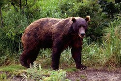 Films Look at Life of Kamchatka Grizzly Bears