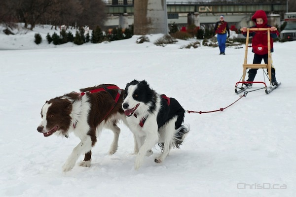 Border collies Razzie and Dina pull a youngster along during a kicksledding demonstation put on by the Snow Motion Winter Dog Sports Club of Manitoba on Saturday, February 5, 2011 at The Forks. (TED GRANT / CHRISD.CA)