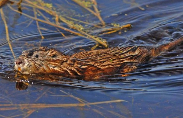 Beaver - Oak Hammock Marsh