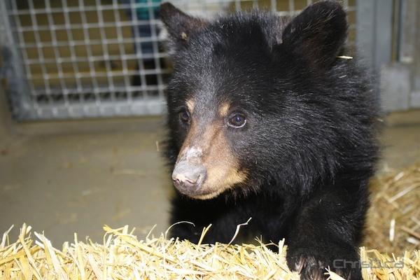 A black bear cub (ASSINIBOINE PARK ZOO)