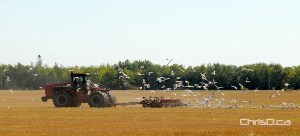A farmer harvesting his field near Gimli is swarmed by seagulls on Friday, September 14, 2012. (STAN MILOSEVIC / CHRISD.CA)
