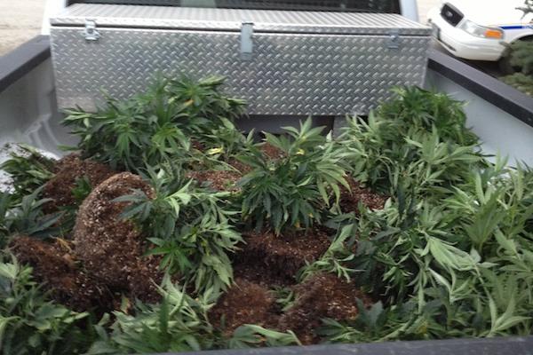 Steinbach Marijuana Bust