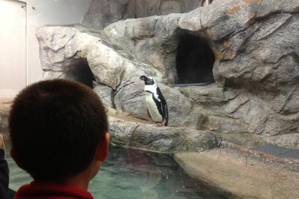 Winnipeg Zoo Penguin