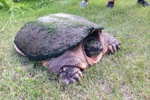 King's Park Turtle