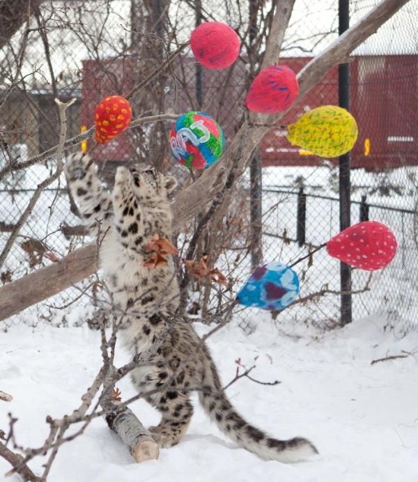 One of the snow leopard cubs plays with their Christmas present. (ASSINIBOINE PARK ZOO/HANDOUT)