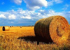 Manitoba Wheat Field