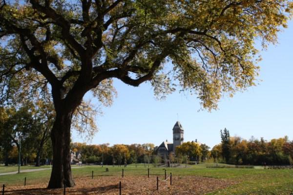 The Assiniboine Park's 'Grandma Elm.' (ASSINIBOINE PARK/HANDOUT)
