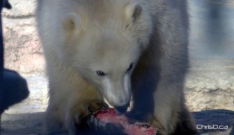 Blizzard Polar Bear