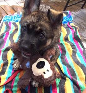 Asha - Puppy