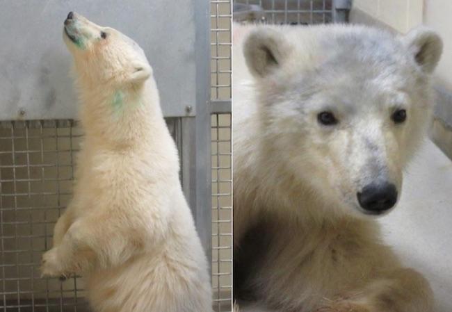 Orphaned Polar Bears