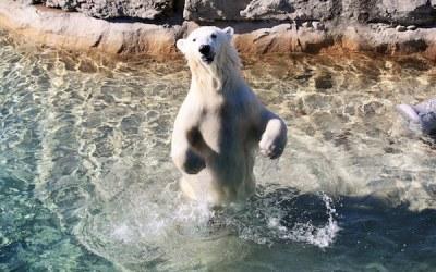 Assiniboine Park Zoo Bidding Farewell to Juno, Loaned Polar Bear from Toronto