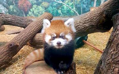 Red Panda Day Marked at Assiniboine Park Zoo