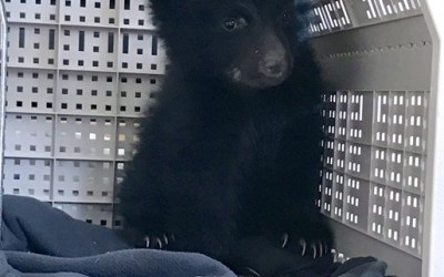 Winnipeg Man Charged for Harbouring Black Bear Cub
