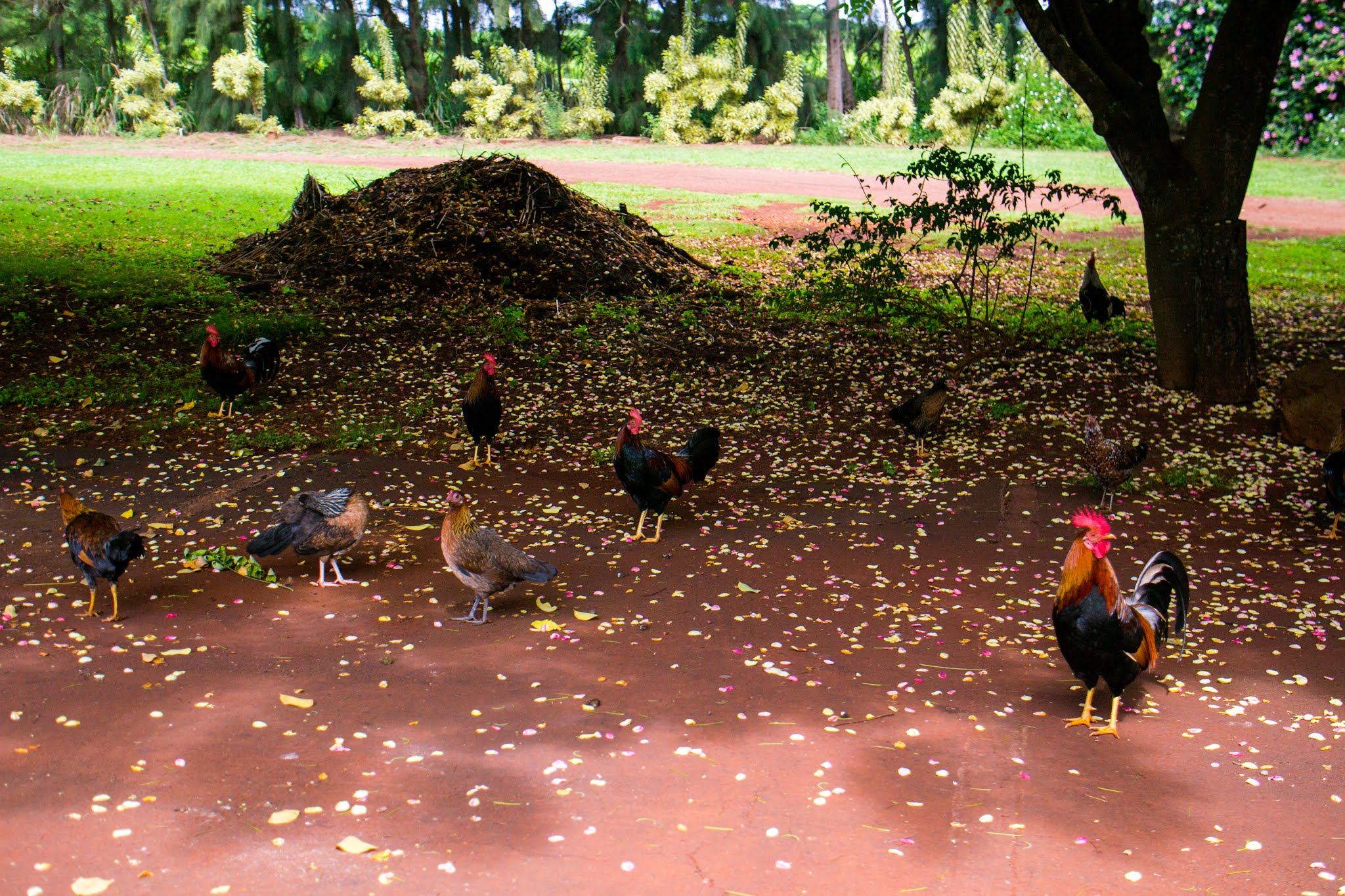 Feral Chickens Kauai Hawaii
