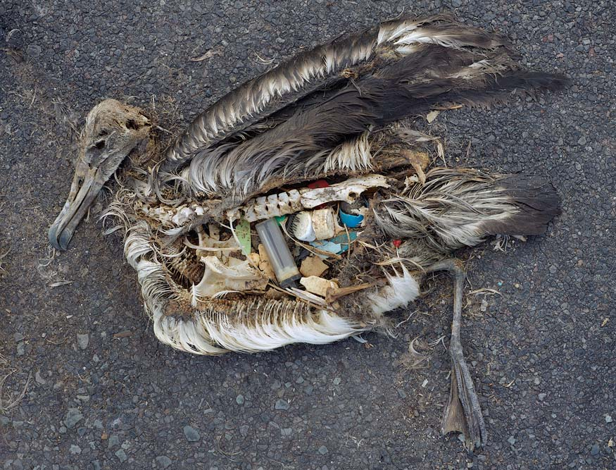One of Chris Jordan's Pictures of dead albatross chicks, killed by a diet of plastic.