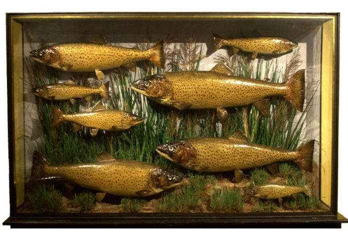 Mounted stuffed Brown Trout - Chris Sandford