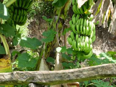 Bananas growing in the wild