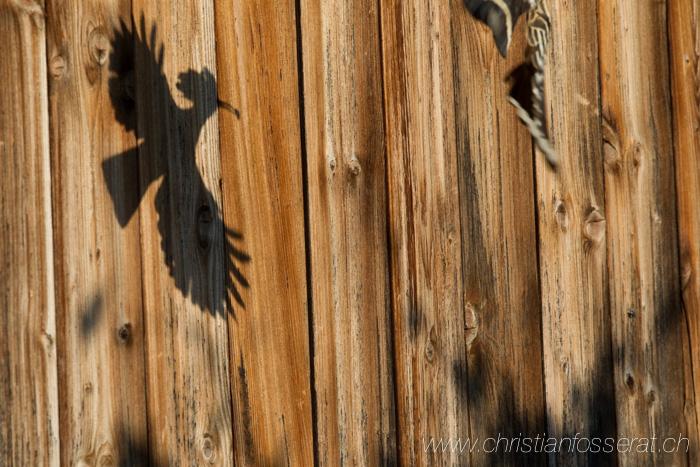 Huppe fasciée, adulte nourrissage dans nichoir, canton de Vaud, en Suisse. Aves, Birds, Bucérotiformes, Eurasian Hoopoe, Upupa epops, Upupidae, Upupidés,