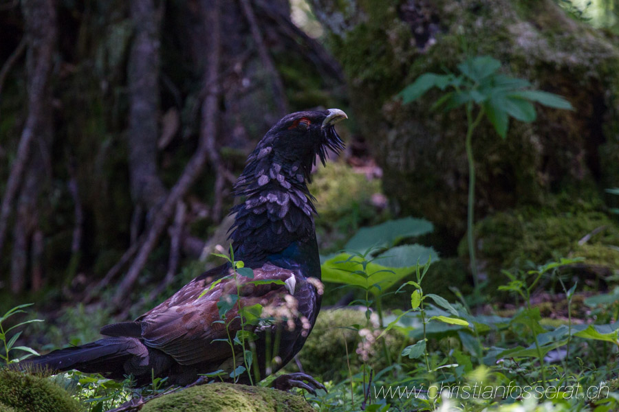 Aves, Birds, Galliformes, Grand Tétras, Phasianidae, Phasianidés, Tetrao urogallus, Western Capercaille