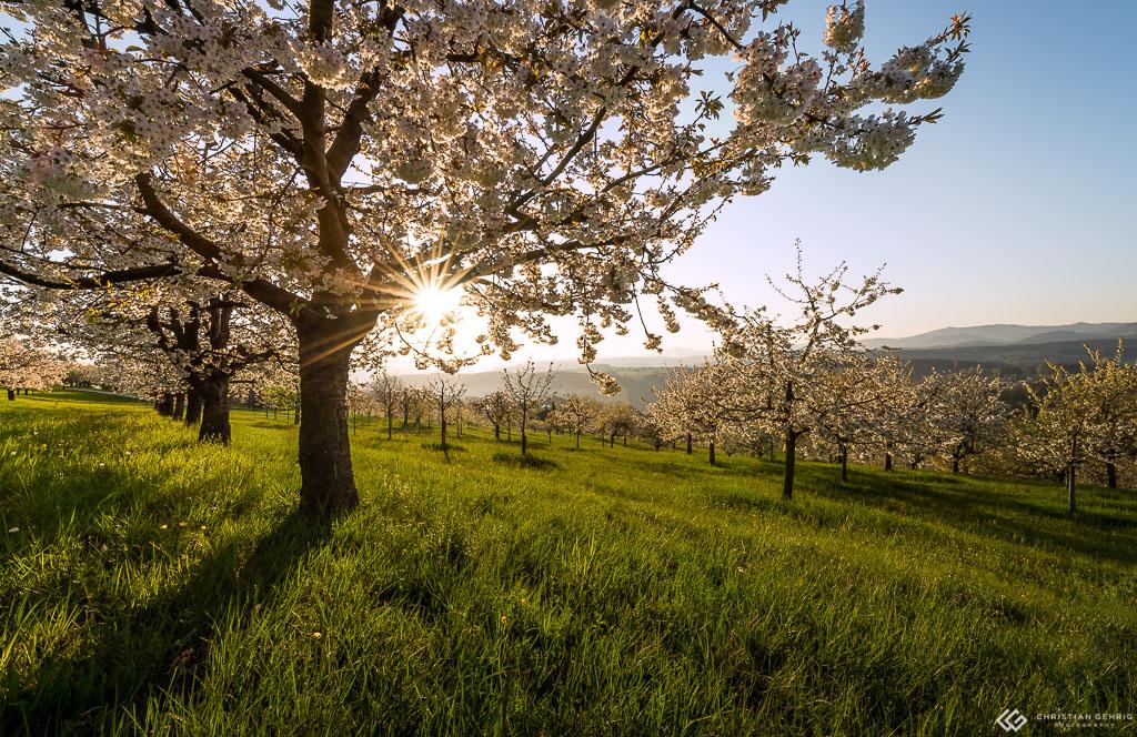 Kirschbaum mit Sonnenstern nach dem Sonnenaufgang